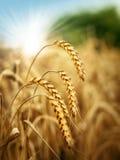 Wheat under sun Stock Image