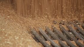 Wheat grain close-up. Wheat is unloaded from a truck at a flour mill. Wheat is strewing. Unloading of wheat grain. Flour mill production stage. Transportation stock footage