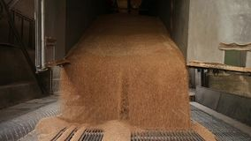 Grain truck unloading. Wheat is unloaded from a truck at a flour mill. Wheat is strewing. Unloading of wheat grain. Flour mill production stage. Transportation stock video