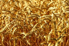 Wheat Up Close Royalty Free Stock Images