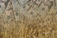 Wheat and US Dollars or Money or currency in double exposure shot, demonstrating earnings or spend in Agriculture Royalty Free Stock Image