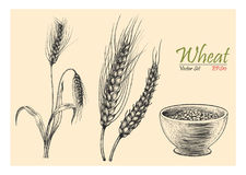 Wheat vector set hand drawing vintage style. Vintage illustration Stock Image