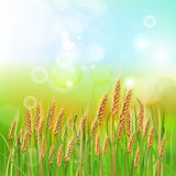 Wheat vector. Shiny bright wheat background. Vector illustration image Royalty Free Stock Images