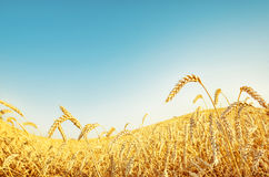 Wheat wave and blue sky Stock Photo