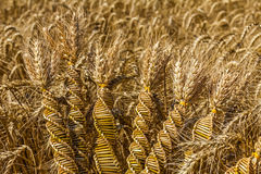 Wheat weaving, twisted grain like a DNA array. Wheat weaving is traditionally done at harvest time by interlacing stalks in intricate patterns stock images