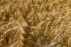 Wheat weaving, twisted grain like a DNA array. Wheat weaving is traditionally done at harvest time by interlacing stalks in intricate patterns royalty free stock photography