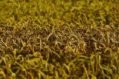Wheat, Wheat Field, Wheat Spike Stock Image