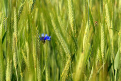 Wheat and wheat flower. Green wheat and wheat flower Royalty Free Stock Photography