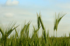 Wheat and wheat flower. Green wheat and wheat flower Royalty Free Stock Photos