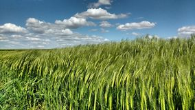 Wheat. In Zamora, Spain Royalty Free Stock Photography