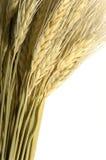 Wheat on White Royalty Free Stock Photo
