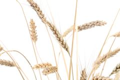 Wheat on white backgraund Stock Photos