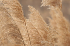 Wheat in the wind stock photos