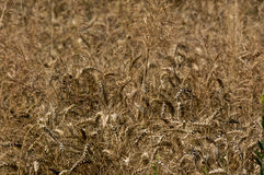 Wheat in wind Royalty Free Stock Photo