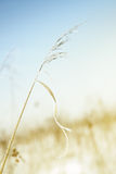 Wheat in winter Stock Images