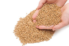 Wheat in woman's hand Royalty Free Stock Photography