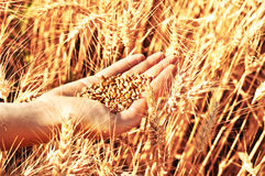 Wheat in woman's hand Stock Photo