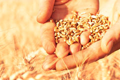 Wheat in woman's hands Royalty Free Stock Image