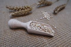 Wheat in a wooden scoop with wheat ears on a hessian background royalty free stock photo