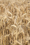 Wheat yellow Stock Photo