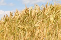 Wheat yellow field Royalty Free Stock Image