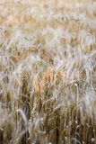 Wheat. Yellow wheat in the field Royalty Free Stock Photo