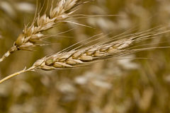 Wheat. Yellow grain growing in a farm field over bright sun Royalty Free Stock Photos