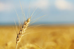 Wheat. Yellow grain ready for harvest. Closeup view Stock Photography