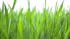 Wheat young green leafs ,agricultural spring field stock video footage