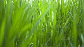 Wheat young green leafs ,agricultural spring field stock video