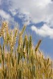 wheat001 免版税图库摄影