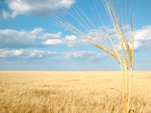 Wheat04 Fotografia de Stock Royalty Free