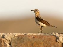Wheatear Royalty Free Stock Image