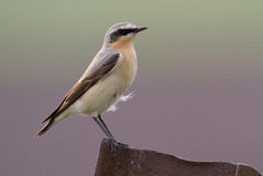 Wheatear royalty free stock photo