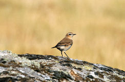 Wheatear Stock Photos