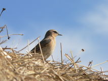 Wheatear. (Oenanthe oenanthe) on the hay Stock Photos
