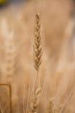 Wheatear Στοκ εικόνες με δικαίωμα ελεύθερης χρήσης