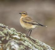 Wheatear Stockfoto