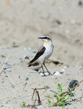 Wheatear at the beginning of summer on Yamal Stock Photography