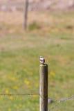 Wheatear bird in summer Royalty Free Stock Image