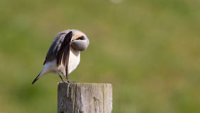 Wheatear cleaning on a post. A Wheatear is cleaning itself on a post Stock Images