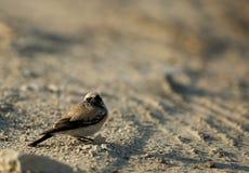 Wheatear del desierto Fotos de archivo libres de regalías