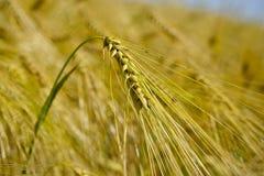 Wheatear för vetefält av korn Royaltyfri Fotografi
