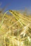Wheatear för vetefält av korn Arkivbilder