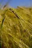 Wheatear för vetefält av korn Arkivfoto