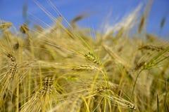 Wheatear för vetefält av korn Arkivfoton
