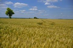 Wheatear för vetefält av korn Arkivbild
