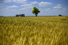 Wheatear för vetefält av korn Royaltyfria Bilder