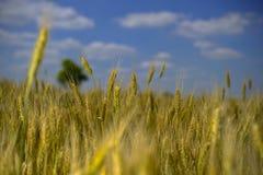 Wheatear för vetefält av korn Royaltyfri Foto