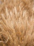 Wheatear. Fall riped wheatear grain field Royalty Free Stock Image